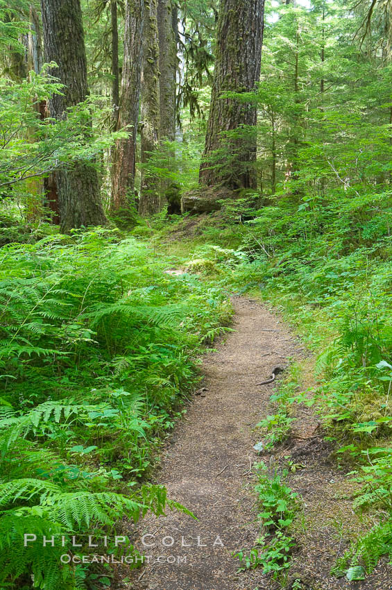 A hiking path leads through old growth forest of douglas firs and hemlocks, with forest floor carpeted in ferns and mosses.  Sol Duc Springs. Sol Duc Springs, Olympic National Park, Washington, USA, natural history stock photograph, photo id 13754