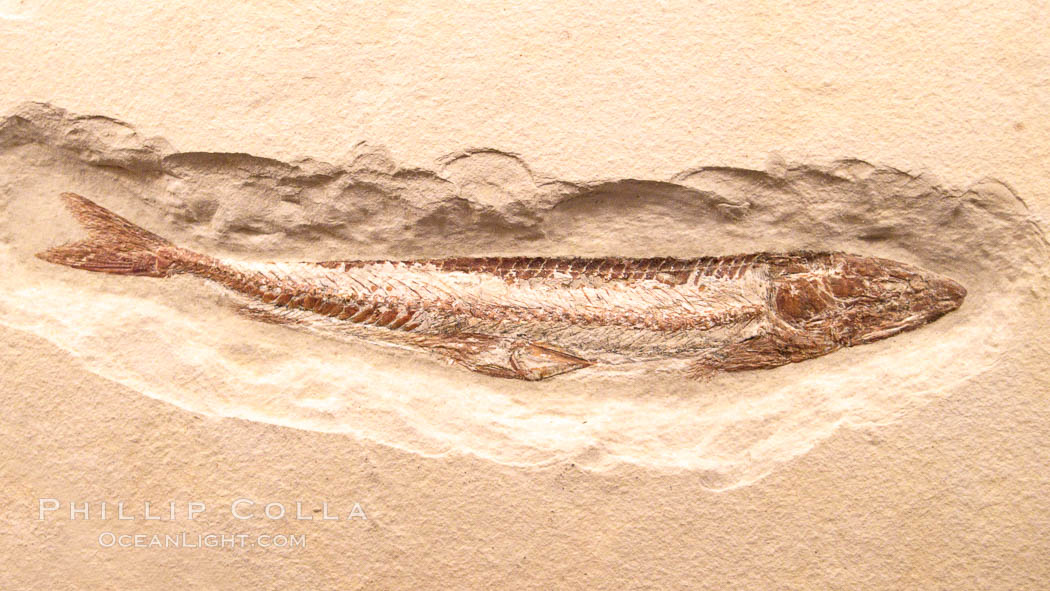 Fossil fish, Prinolepis cataphractus, from the early Cretaceous, collected in Hajula, Lebanon., Prinolepis cataphractus, natural history stock photograph, photo id 23094