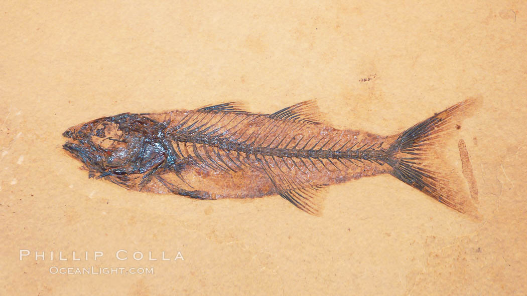 Fossil fish, collected at the Green River Formation, Kemmerer, Wyoming, dated to the Eocene Era.  Mioplosus are part of the perch family, predatory fishes., Mioplosus, natural history stock photograph, photo id 20868