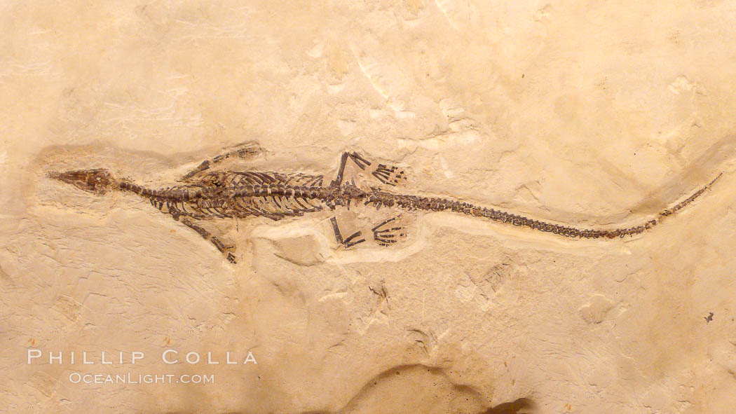 Freshwater lizard fossil, collected in Ceara, Brazil, dated 130 million years old., natural history stock photograph, photo id 20865