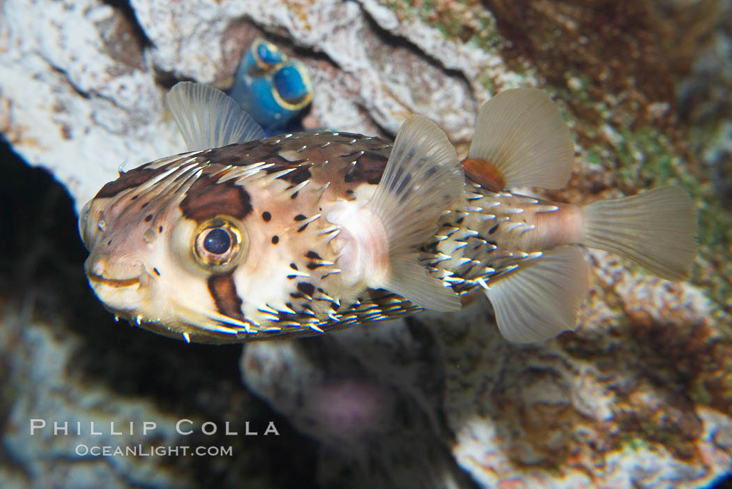 Image 14488, Freckled porcupinefish., Diodon holocanthus