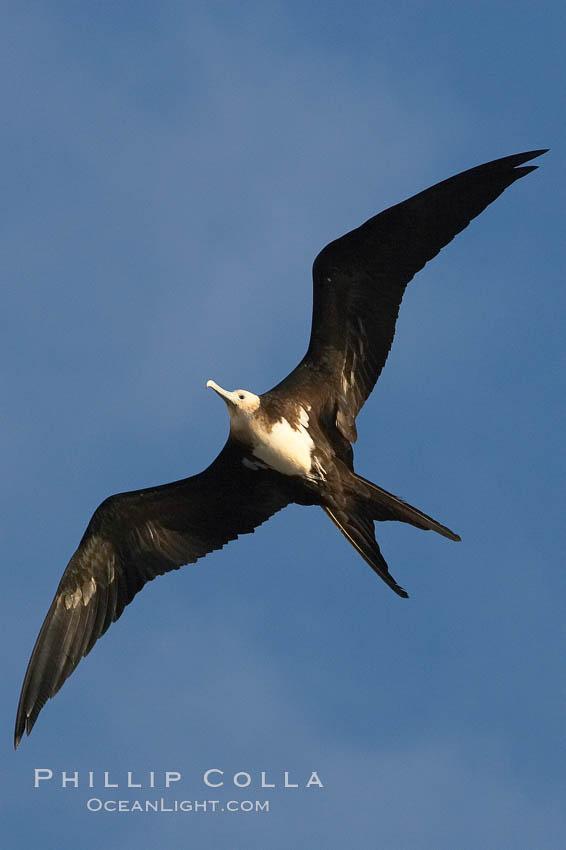 Great frigatebird, juvenile, in flight, rust-color neck identifies species.  Wolf Island. Wolf Island, Galapagos Islands, Ecuador, Fregata minor, natural history stock photograph, photo id 16714