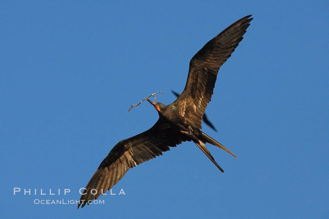 Great frigatebird, adult male, in flight, carrying twig for nest building, green iridescence of scapular feathers identifying species.  Wolf Island. Wolf Island, Galapagos Islands, Ecuador, Fregata minor, natural history stock photograph, photo id 16723