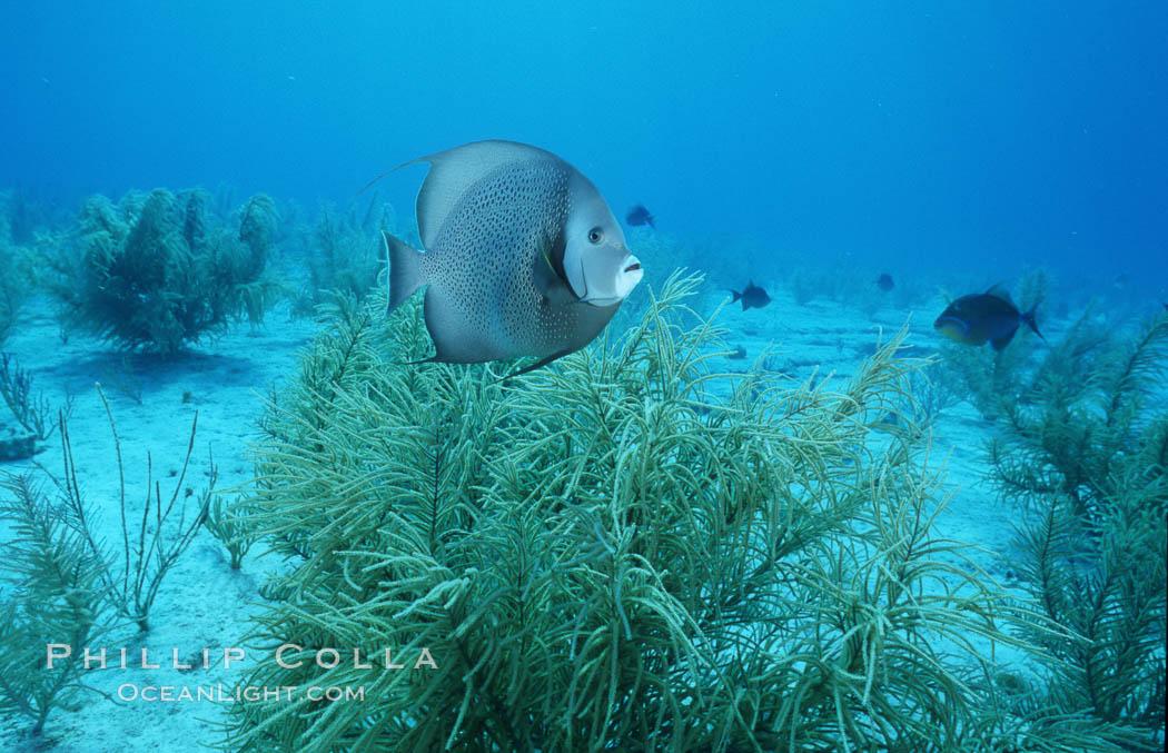 French angel fish. Bahamas, Pomacanthus paru, natural history stock photograph, photo id 05215