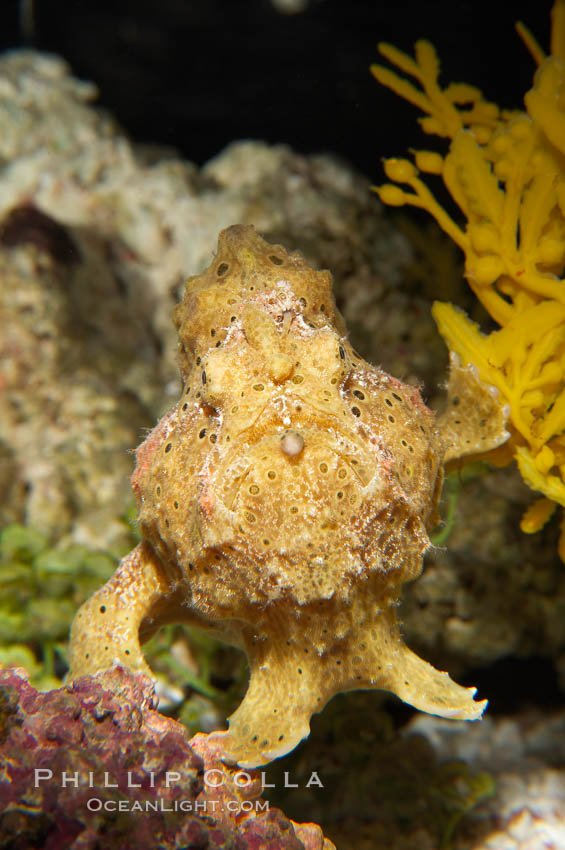 Frogfish, unidentified species.  The frogfish is a master of camoflage, lying in wait, motionless, until prey swims near, then POW lightning quick the frogfish gulps it down., natural history stock photograph, photo id 14514