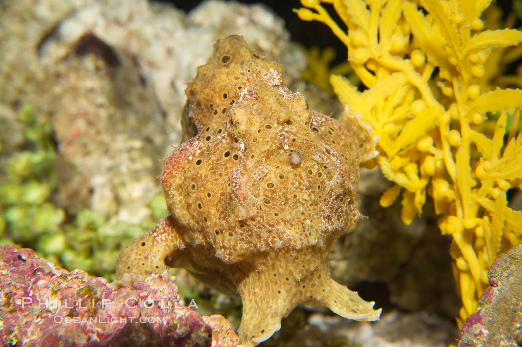 Frogfish, unidentified species.  The frogfish is a master of camoflage, lying in wait, motionless, until prey swims near, then POW lightning quick the frogfish gulps it down., natural history stock photograph, photo id 14512