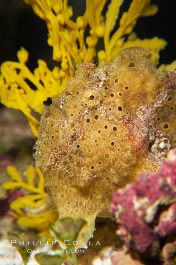 Frogfish, unidentified species.  The frogfish is a master of camoflage, lying in wait, motionless, until prey swims near, then POW lightning quick the frogfish gulps it down., natural history stock photograph, photo id 14515
