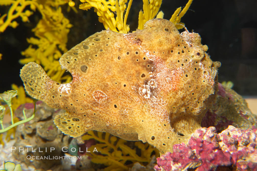 Frogfish, unidentified species.  The frogfish is a master of camoflage, lying in wait, motionless, until prey swims near, then POW lightning quick the frogfish gulps it down., natural history stock photograph, photo id 14513