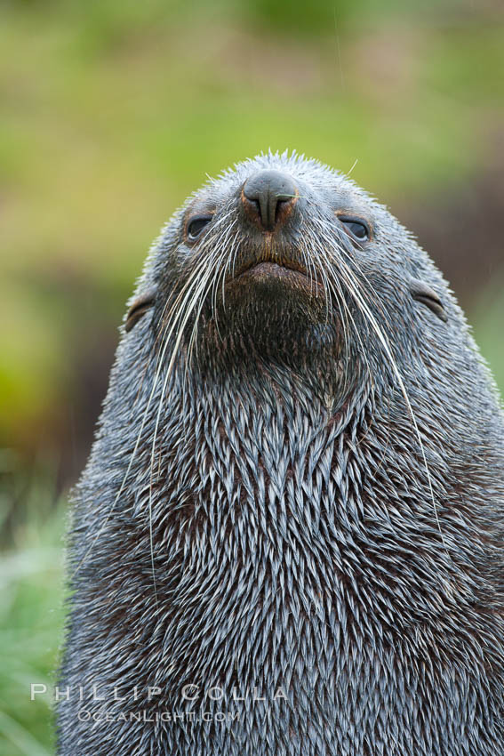 Antarctic fur seal, adult male (bull), showing distinctive pointed snout and long whiskers that are typical of many fur seal species. Fortuna Bay, South Georgia Island, Arctocephalus gazella, natural history stock photograph, photo id 24630