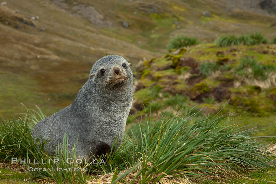 Antarctic fur seal on tussock grass. Fortuna Bay, South Georgia Island, Arctocephalus gazella, natural history stock photograph, photo id 24616