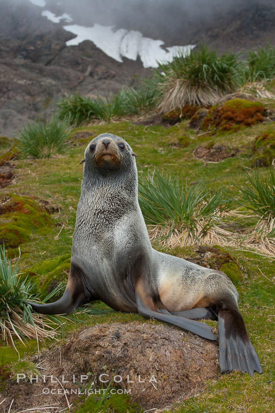 Antarctic fur seal, on grass slopes high above Fortuna Bay, with the cloudy heights of South Georgia Island rising in the background., Arctocephalus gazella, natural history stock photograph, photo id 24615