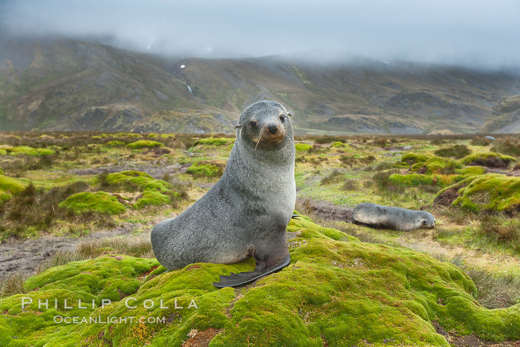 Antarctic fur seal on grassy mounds found along the shoreline of Stromness Bay. Stromness Harbour, South Georgia Island, Arctocephalus gazella, natural history stock photograph, photo id 24609