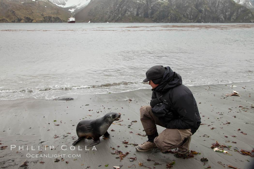 A curious Antarctic fur seal pup on the beach at Godthul. Godthul, South Georgia Island, Arctocephalus gazella, natural history stock photograph, photo id 24705