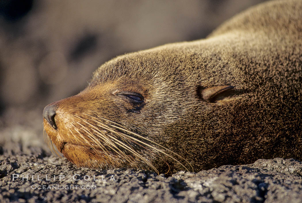 Galapagos fur seal. James Island, Galapagos Islands, Ecuador, Arctocephalus galapagoensis, natural history stock photograph, photo id 01558