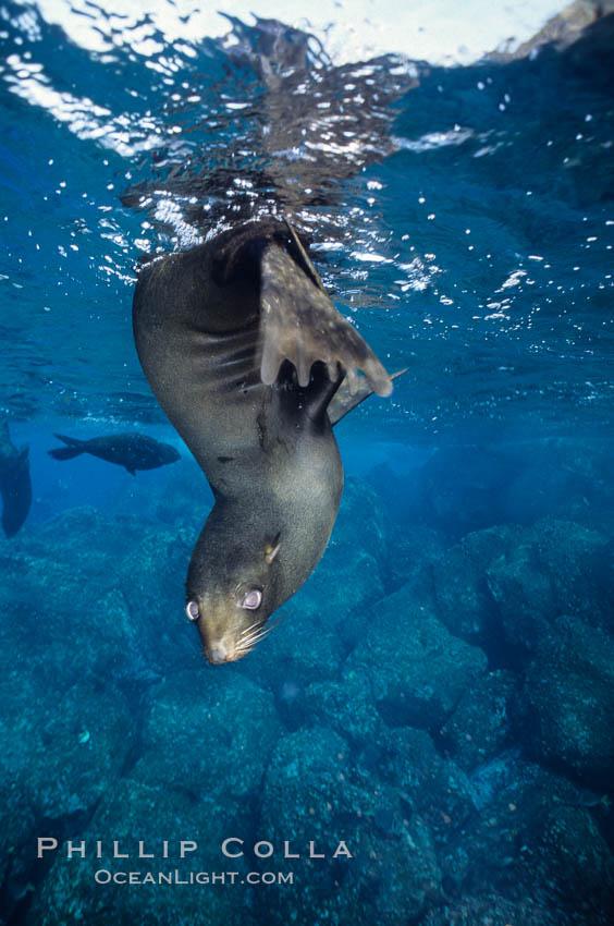 Galapagos fur seal. Darwin Island, Galapagos Islands, Ecuador, Arctocephalus galapagoensis, natural history stock photograph, photo id 01610