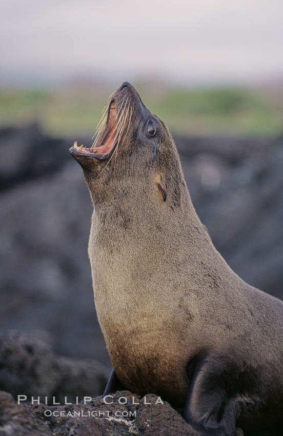 Galapagos fur seal. James Island, Galapagos Islands, Ecuador, Arctocephalus galapagoensis, natural history stock photograph, photo id 02246
