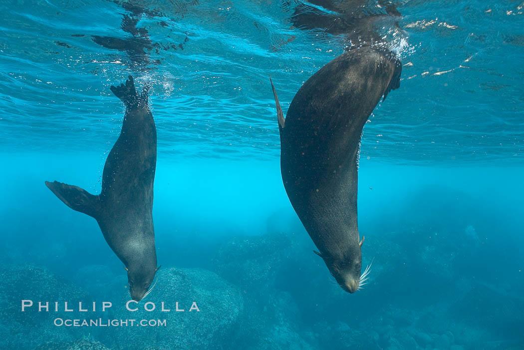 Galapagos fur seals,  Darwin Island. Darwin Island, Galapagos Islands, Ecuador, Arctocephalus galapagoensis, natural history stock photograph, photo id 16319