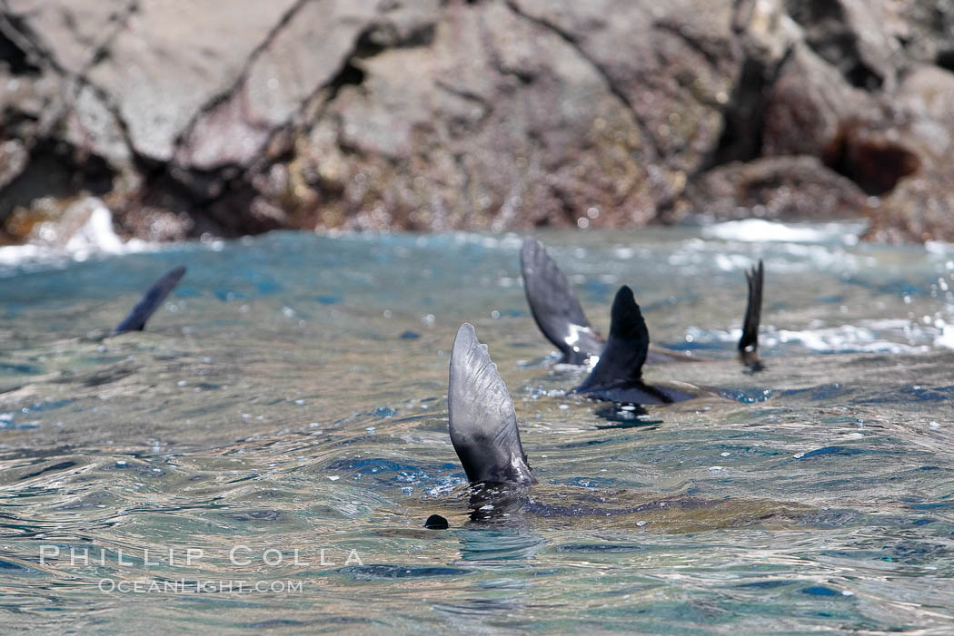 Galapagos fur seals rest, floating head down with flippers raised above the ocean surface. Darwin Island, Galapagos Islands, Ecuador, Arctocephalus galapagoensis, natural history stock photograph, photo id 16515