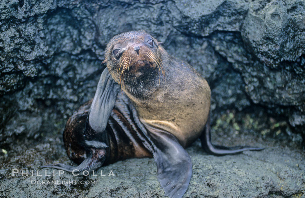 Galapagos fur seal. James Island, Galapagos Islands, Ecuador, Arctocephalus galapagoensis, natural history stock photograph, photo id 10073