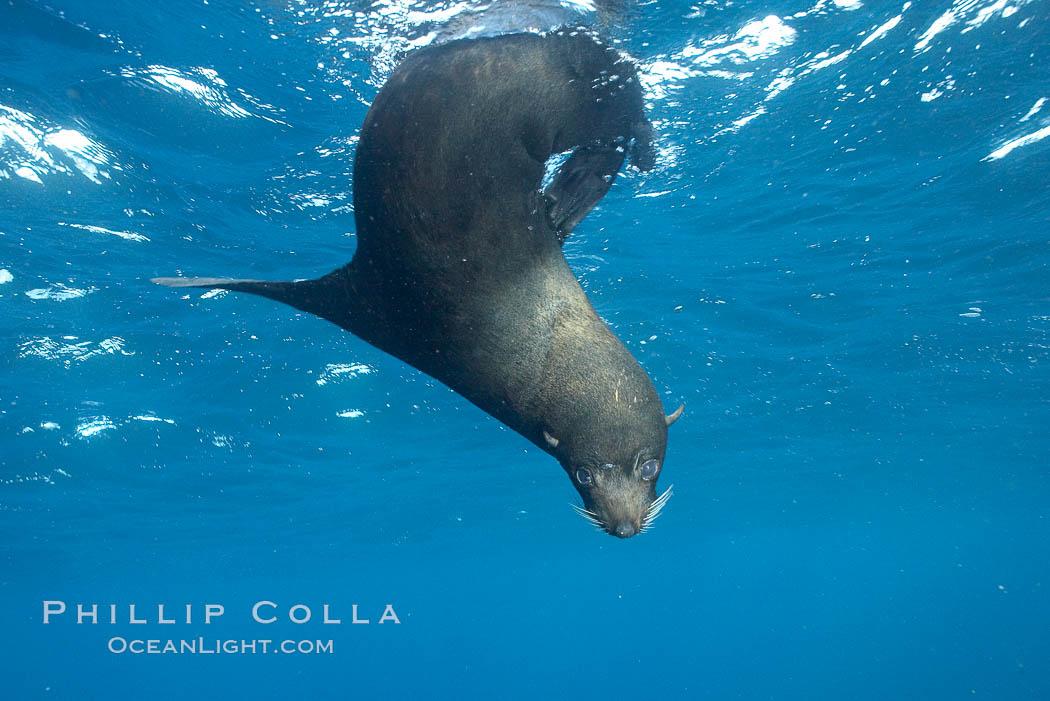 Image 16321, Galapagos fur seal,  Darwin Island. Darwin Island, Galapagos Islands, Ecuador, Arctocephalus galapagoensis