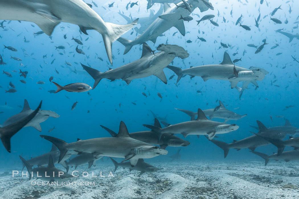 Hammerhead sharks, schooling, black and white / grainy. Darwin Island, Galapagos Islands, Ecuador, Sphyrna lewini, natural history stock photograph, photo id 16290