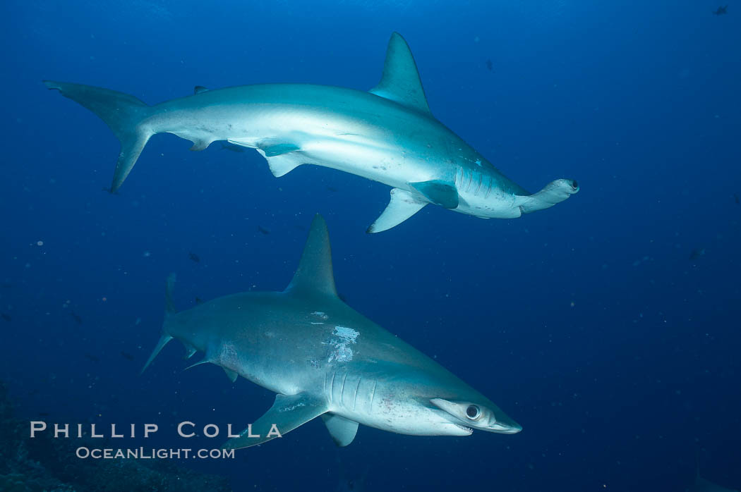 Scalloped hammerhead shark. Darwin Island, Galapagos Islands, Ecuador, Sphyrna lewini, natural history stock photograph, photo id 16288