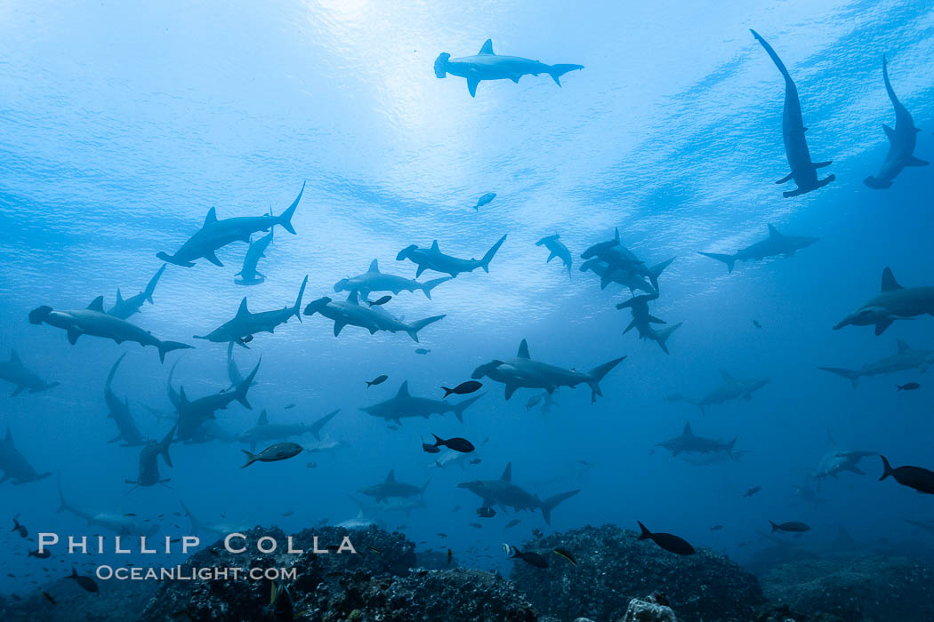 Hammerhead sharks, schooling, black and white / grainy. Wolf Island, Galapagos Islands, Ecuador, Sphyrna lewini, natural history stock photograph, photo id 16296