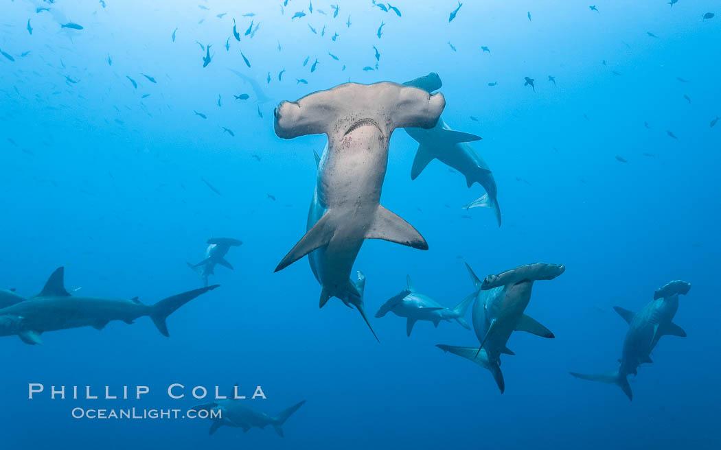 Hammerhead sharks, schooling. Wolf Island, Galapagos Islands, Ecuador, Sphyrna lewini, natural history stock photograph, photo id 16295