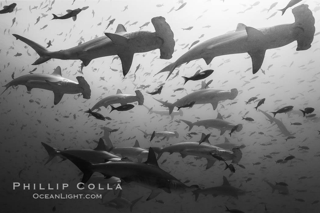 Hammerhead sharks, schooling, black and white / grainy. Darwin Island, Galapagos Islands, Ecuador, Sphyrna lewini, natural history stock photograph, photo id 16293