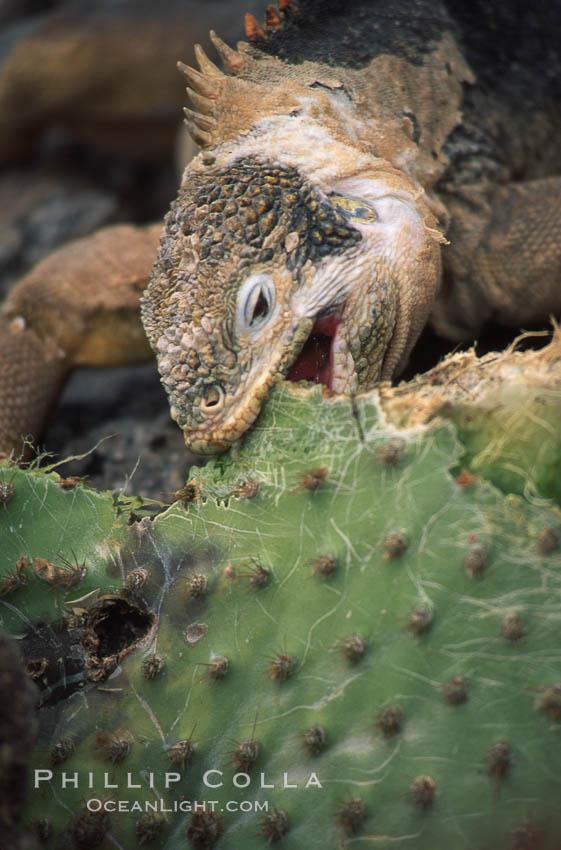 Galapagos land iguana. South Plaza Island, Galapagos Islands, Ecuador, Conolophus subcristatus, natural history stock photograph, photo id 01742