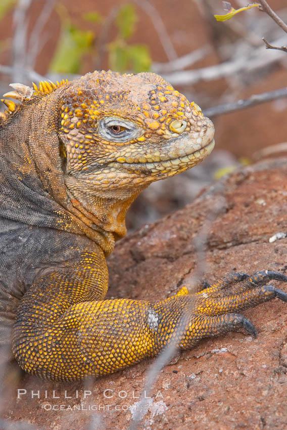 Galapagos land iguana. North Seymour Island, Galapagos Islands, Ecuador, Conolophus subcristatus, natural history stock photograph, photo id 16582