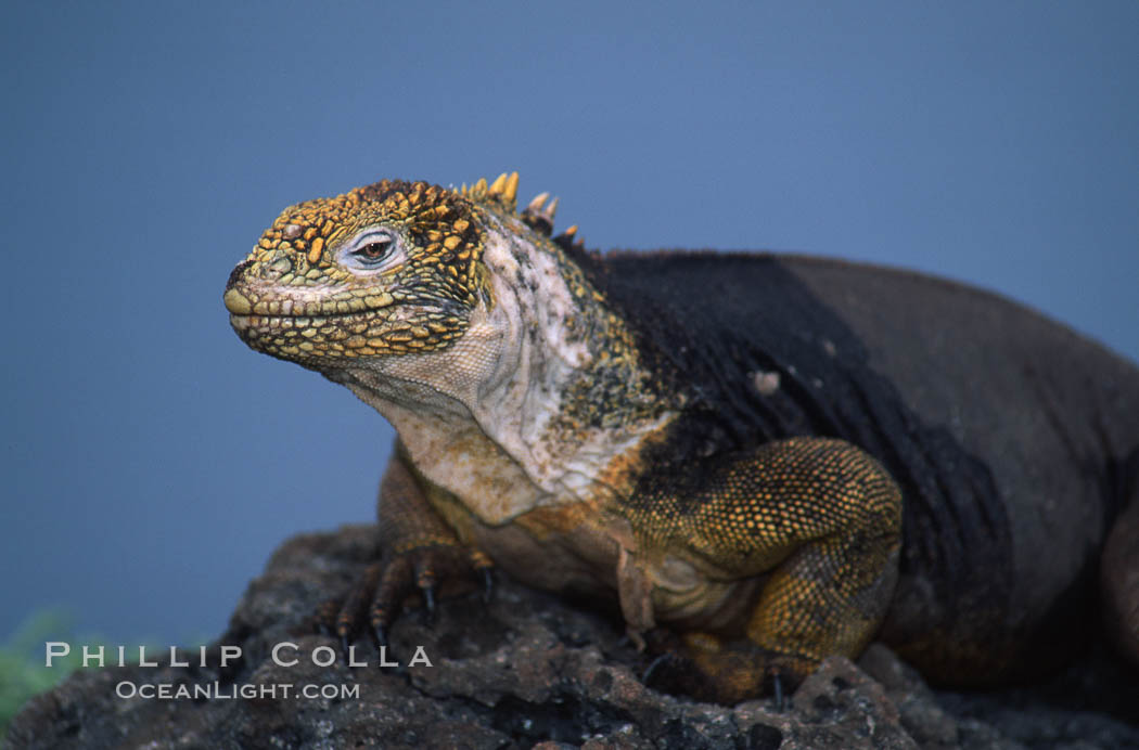 Galapagos land iguana. South Plaza Island, Galapagos Islands, Ecuador, Conolophus subcristatus, natural history stock photograph, photo id 05691