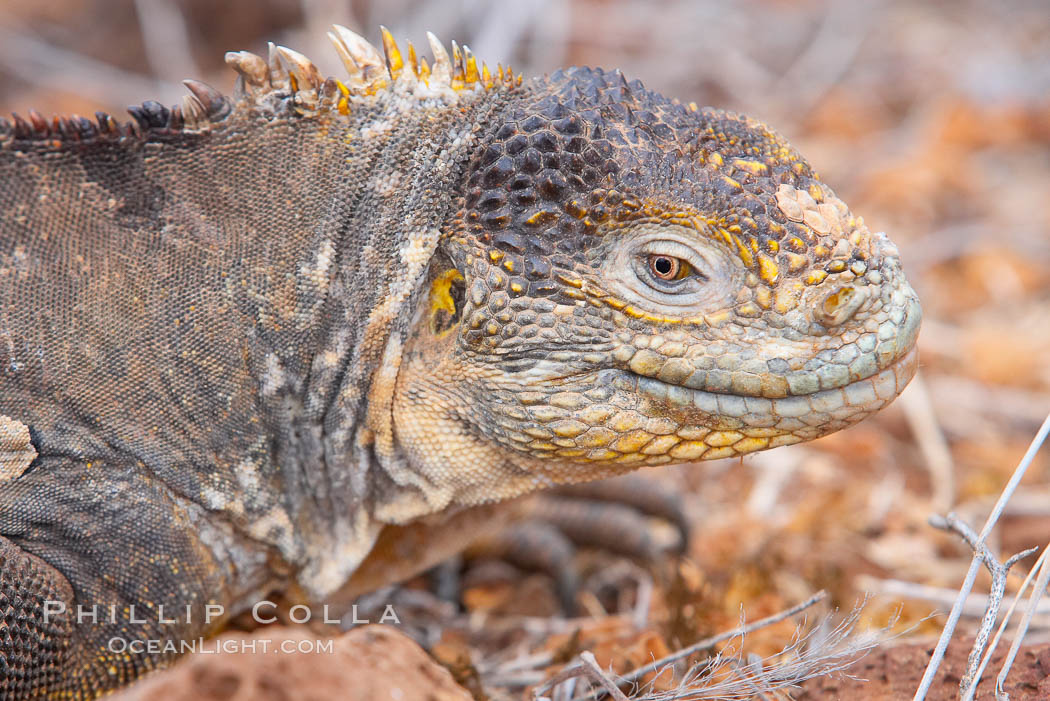 Galapagos land iguana. North Seymour Island, Galapagos Islands, Ecuador, Conolophus subcristatus, natural history stock photograph, photo id 16583