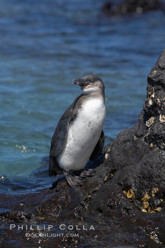 Galapagos penguin, perched on volcanic rocks.  Galapagos penguins are the northernmost species of penguin. Punta Albemarle. Isabella Island, Galapagos Islands, Ecuador, Spheniscus mendiculus, natural history stock photograph, photo id 16524