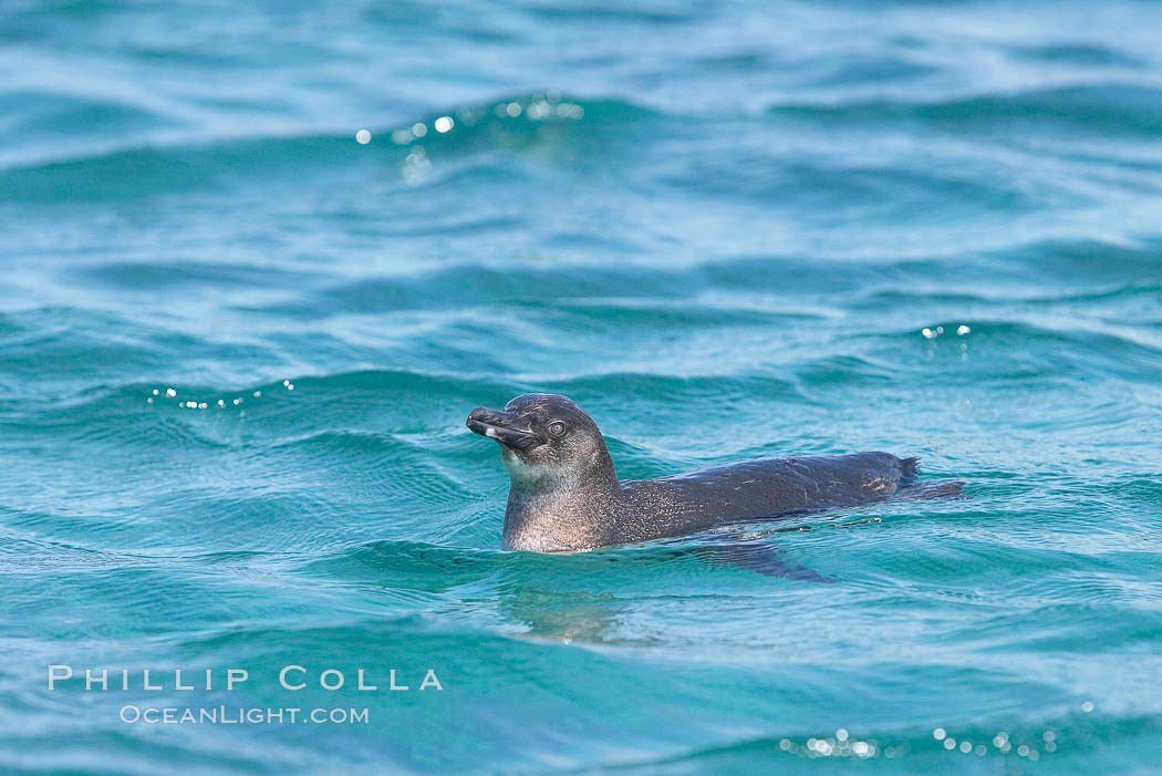 Galapagos penguin swimming.  Galapagos penguins are the northernmost species of penguin. Punta Albemarle. Isabella Island, Galapagos Islands, Ecuador, Spheniscus mendiculus, natural history stock photograph, photo id 16525