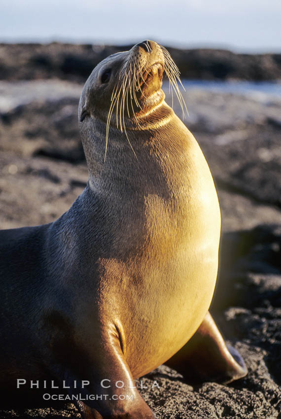 Galapagos sea lion. James Island, Galapagos Islands, Ecuador, Zalophus californianus wollebacki, Zalophus californianus wollebaeki, natural history stock photograph, photo id 01638