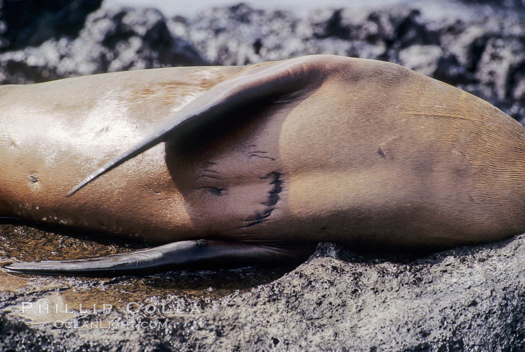 Galapagos sea lion with shark bite,  South Plaza Island. Galapagos Islands, Ecuador, Zalophus californianus wollebacki, Zalophus californianus wollebaeki, natural history stock photograph, photo id 01682