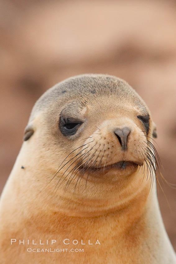 Galapagos sea lion. North Seymour Island, Galapagos Islands, Ecuador, Zalophus californianus wollebacki, Zalophus californianus wollebaeki, natural history stock photograph, photo id 16510