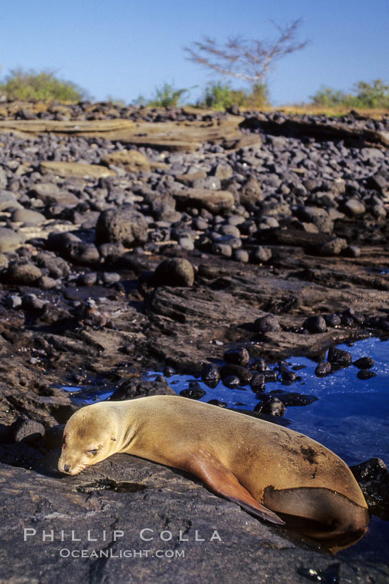 Galapagos sea lion. James Island, Galapagos Islands, Ecuador, Zalophus californianus wollebacki, Zalophus californianus wollebaeki, natural history stock photograph, photo id 01643