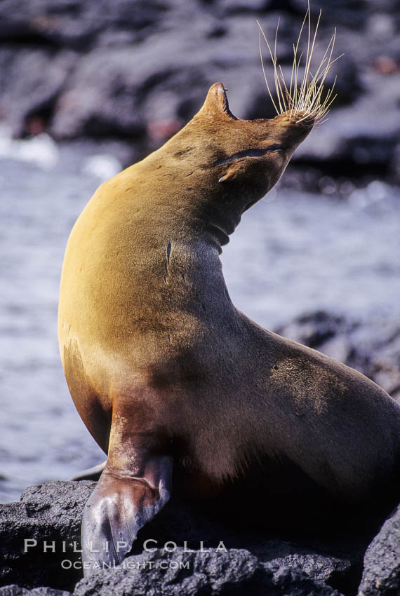 Galapagos sea lion,  South Plaza Island. South Plaza Island, Galapagos Islands, Ecuador, Zalophus californianus wollebacki, Zalophus californianus wollebaeki, natural history stock photograph, photo id 01671