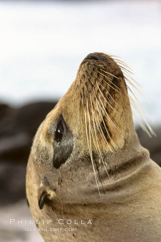 Galapagos sea lion, whiskers. Galapagos Islands, Ecuador, Zalophus californianus wollebacki, Zalophus californianus wollebaeki, natural history stock photograph, photo id 10091