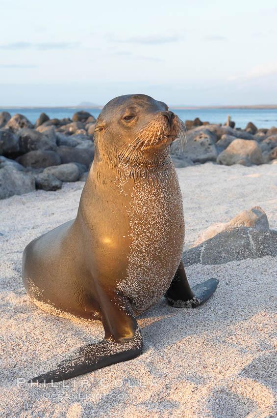 Galapagos sea lion on sandy beach, sunset. Isla Lobos, Galapagos Islands, Ecuador, Zalophus californianus wollebacki, Zalophus californianus wollebaeki, natural history stock photograph, photo id 16505