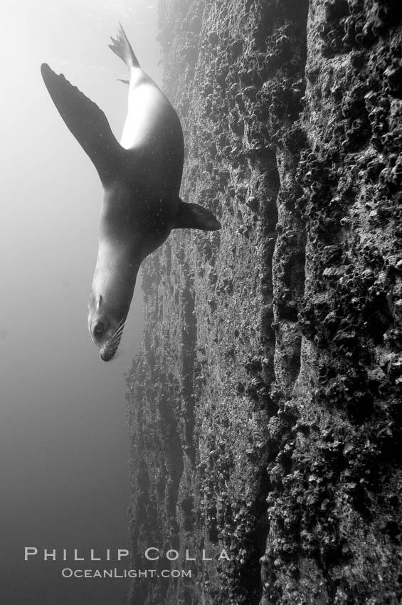 Galapagos sea lion swims alongside a vertical volcanic wall. Gordon Rocks, Galapagos Islands, Ecuador, Zalophus californianus wollebacki, Zalophus californianus wollebaeki, natural history stock photograph, photo id 16453