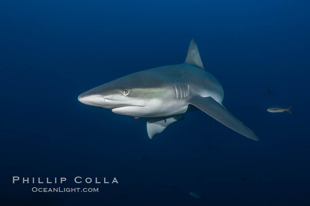 Galapagos shark. Wolf Island, Galapagos Islands, Ecuador, Carcharhinus galapagensis, natural history stock photograph, photo id 16239