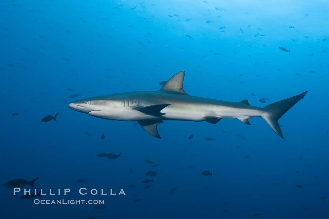 Galapagos shark. Wolf Island, Galapagos Islands, Ecuador, Carcharhinus galapagensis, natural history stock photograph, photo id 16243