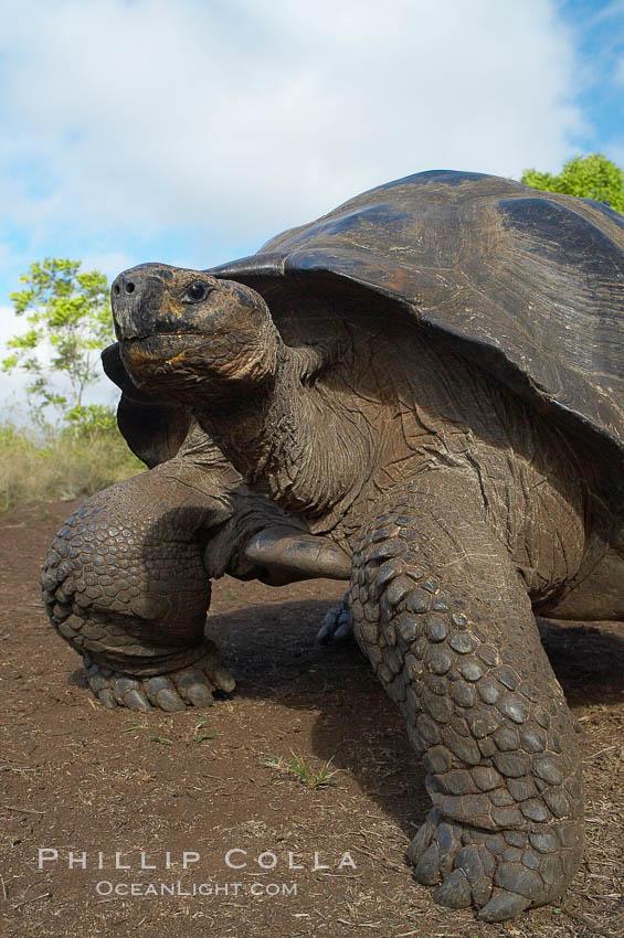Galapagos tortoise, Santa Cruz Island species, highlands of Santa Cruz island. Santa Cruz Island, Galapagos Islands, Ecuador, Geochelone nigra, natural history stock photograph, photo id 16485