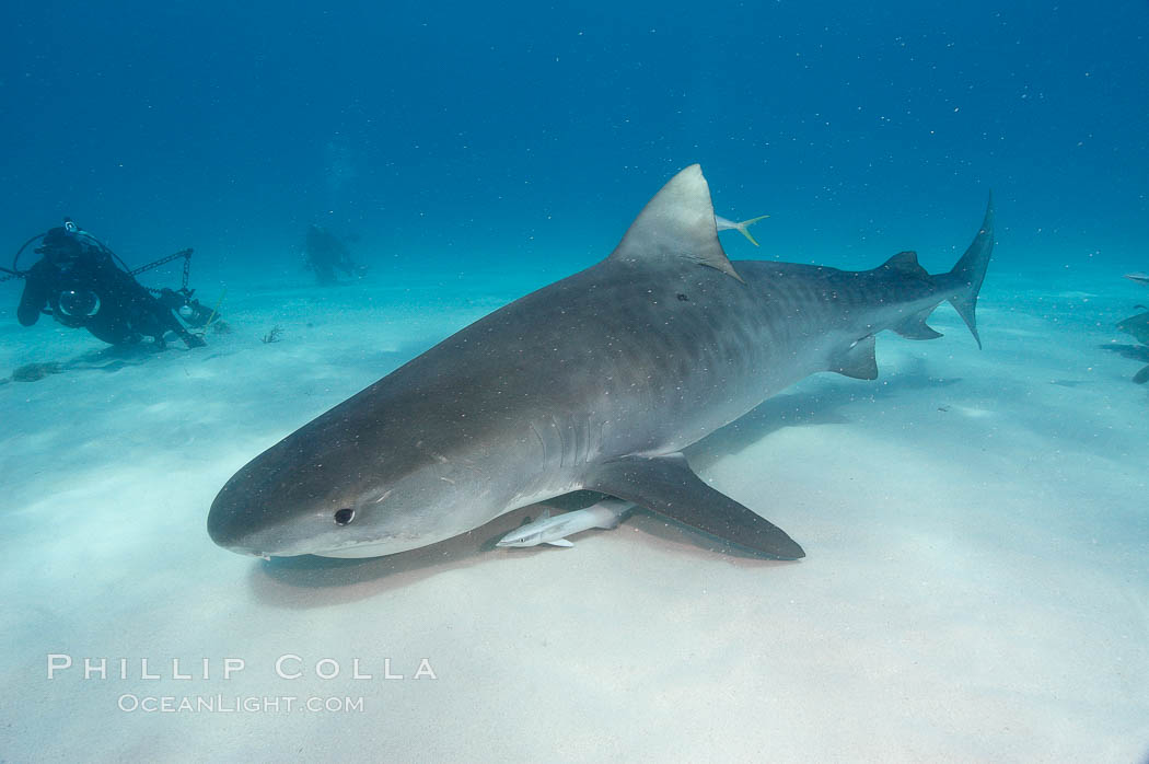 Tiger shark. Bahamas, Galeocerdo cuvier, natural history stock photograph, photo id 10682