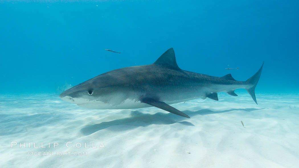 Tiger shark. Bahamas, Galeocerdo cuvier, natural history stock photograph, photo id 10673