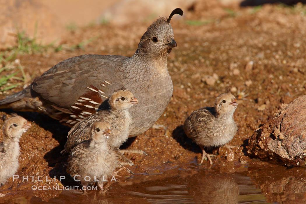 Gambel's quail, chicks and female. Amado, Arizona, USA, Callipepla gambelii, natural history stock photograph, photo id 23006