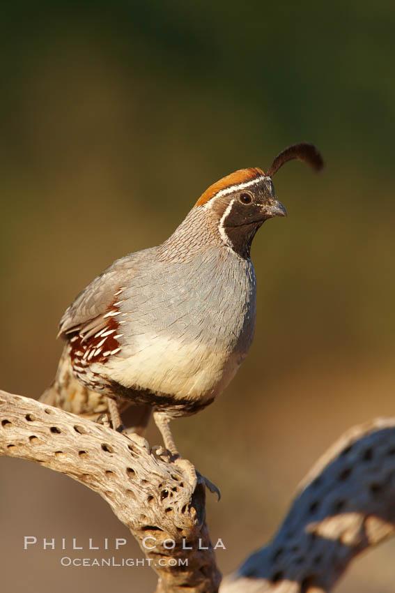 Gambel's quail, male. Amado, Arizona, USA, Callipepla gambelii, natural history stock photograph, photo id 23034